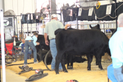 Jr. National Angus Livestock Show