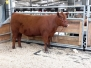 Jr. National Red Angus Show
